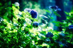 紫陽花 ⅰ