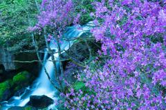 トウゴクミツバツツジと滝