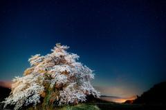 黒岩の夫婦桜