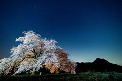 黒岩の夫婦桜2