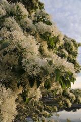 20110509_054728 湖畔に咲くナンジャモンジャの木