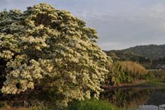 20110509_053840 湖畔に咲くナンジャモンジャの木