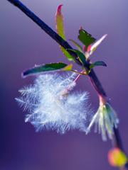 冬咲きのクレマチス シルホサ