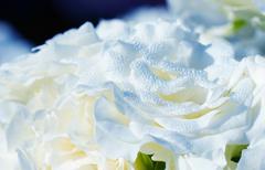 白バラと朝露