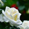 雨に咲く白薔薇