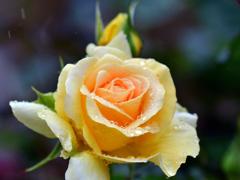 雨に咲く黄薔薇
