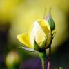黄の秋バラ