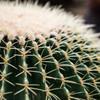 Cactus TogeToge