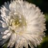 Tyrolean daisy