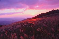 生石高原のススキ