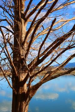 湖岸に立つ木