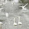 歓迎の白鳥