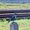 イソヒヨドリ幼鳥さん