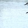 運河のイワツバメ