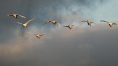 七羽の白鳥家族