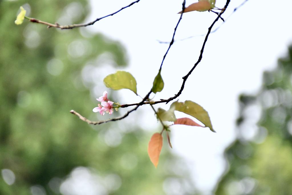 桜の花を見つけました