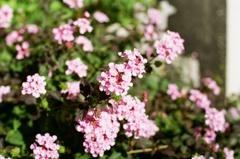 ぴんくの花