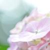 源氏山の淡い紫陽花