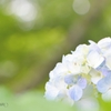 淡い紫陽花