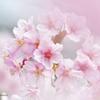 河津桜の春