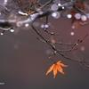 雨上がりの残紅葉