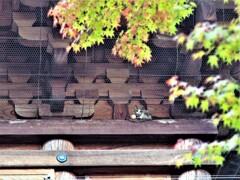 豪徳寺(三重塔の猫)