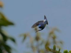 大瑠璃の飛翔