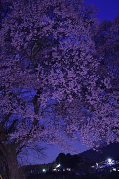 高原の大一本桜