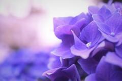 黄昏紫陽花