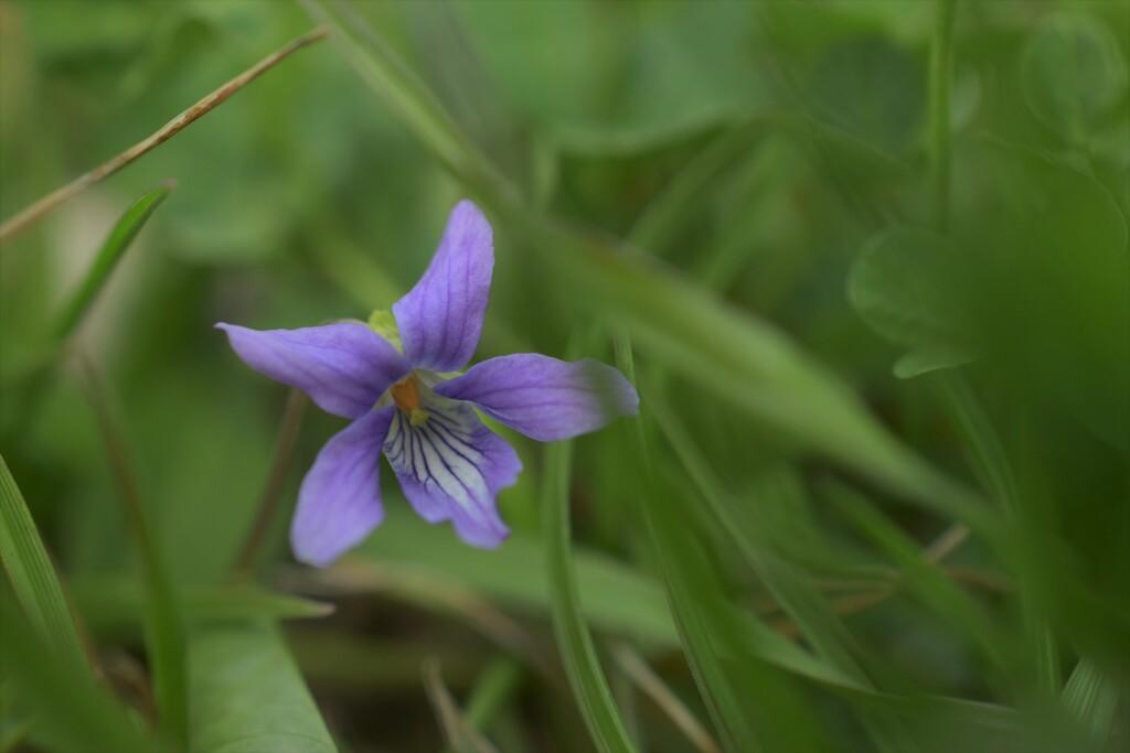 野に咲く菫