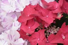 お洒落紫陽花