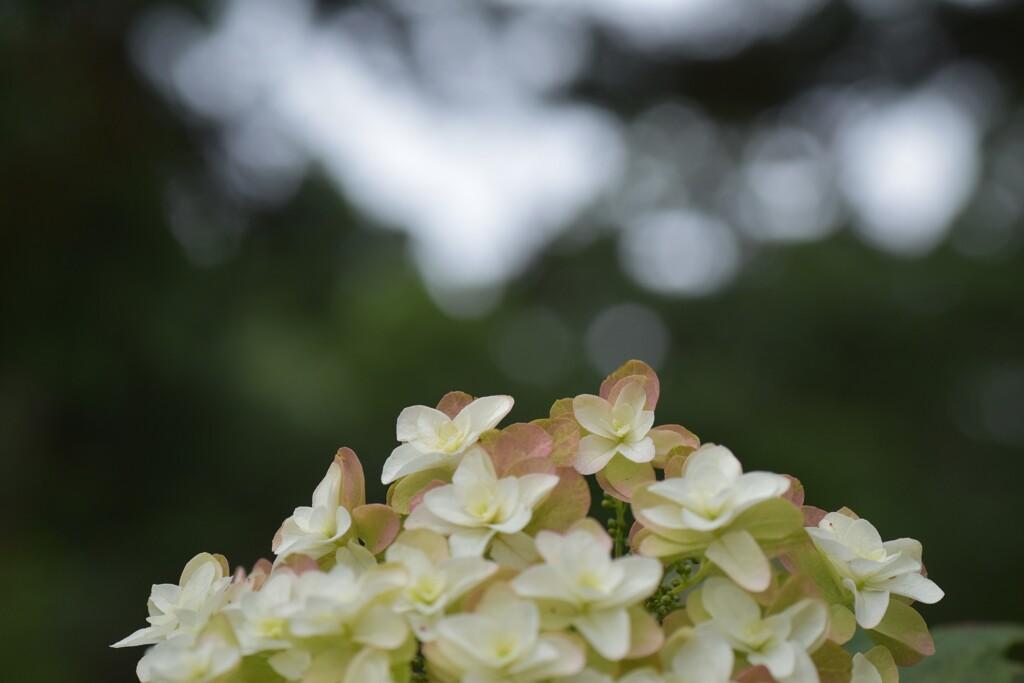 スピリチュアル紫陽花