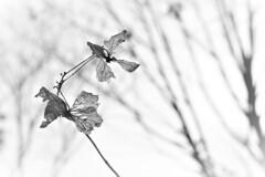 孤独な紫陽花