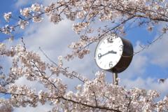 時計もお花見 横
