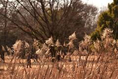 背高泡立草と歩く