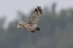 猛禽飛翔2