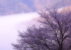 桜仙狭の山桜
