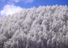 春の霧氷と青い空