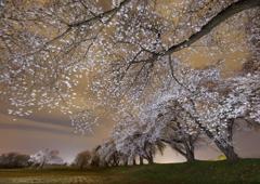 暮夕桜景色
