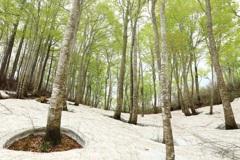ブナの森の新緑
