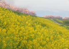 小布施の桜堤