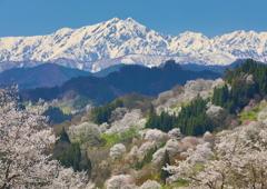 鹿島槍と山桜