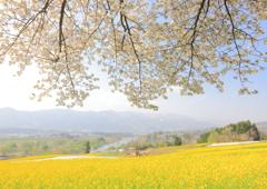 飯山菜の花公園