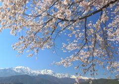 桜と憧れの白い稜線