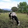 ある朝の牛たち