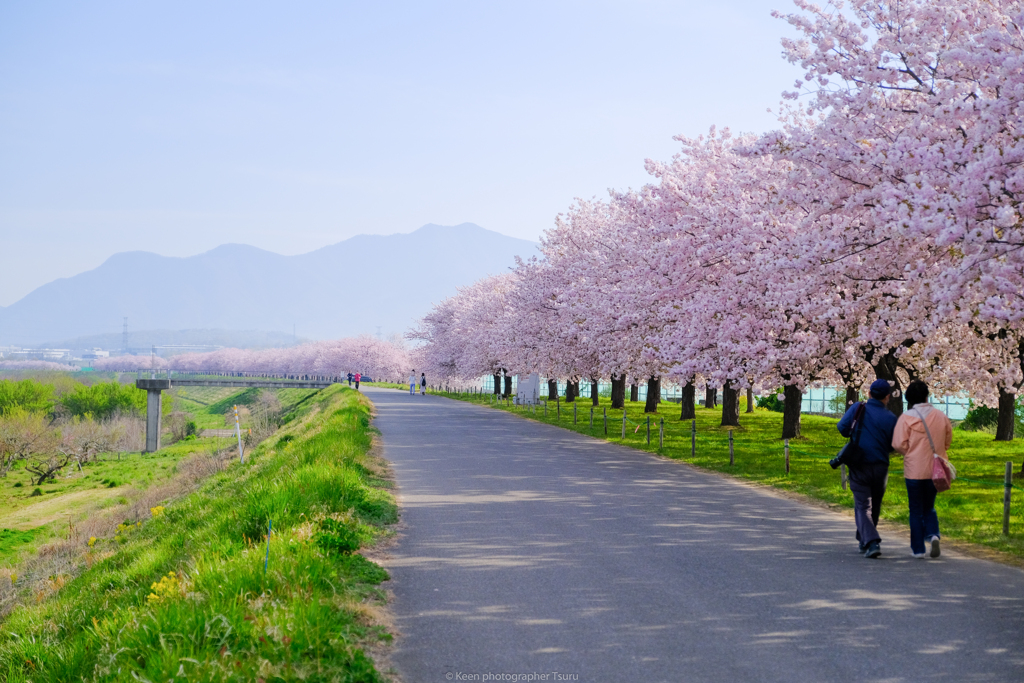 千曲川桜堤
