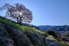朝日と一本桜