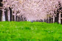桜と愛犬家