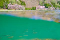 オオヤマザクラと水の中