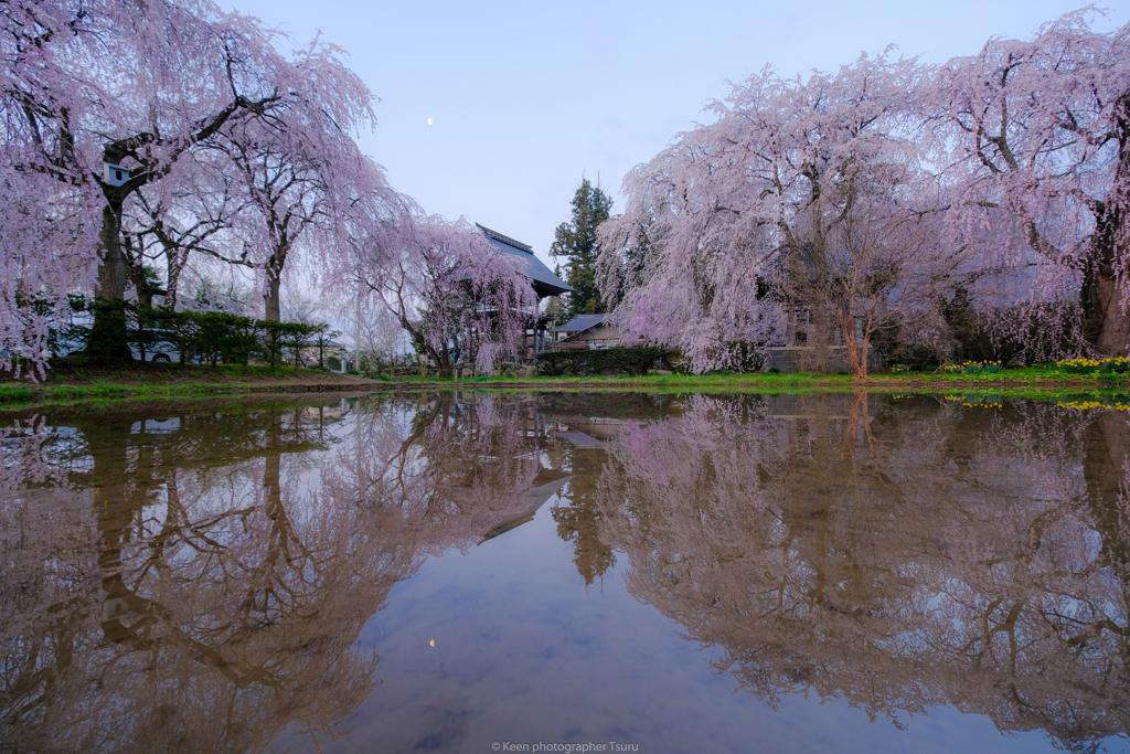枝垂桜と月